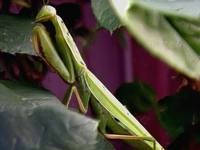 Preying Mantis in garden