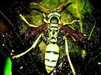 wasp creepy