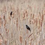 """Red-winged Blackbirds"" by jizutsu"