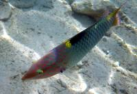 checkerboard wrasse-sharm 09- tamaras group1 571