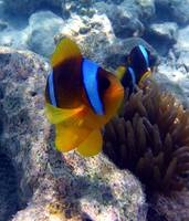 clown fish-sharm 09- tamaras group1 489