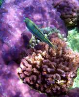 coral and ks wrasse-sharm 09- tamaras group1 856
