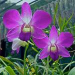 """diaphanous purple orchids (2)"" by jhecim"
