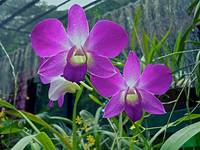 diaphanous purple orchids (2)