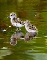 Black Neck Stilt Chicks