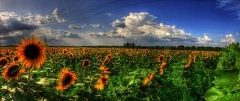 Sunflowers panoramic HDR