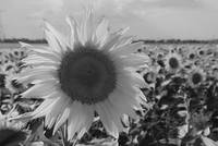 Sunflower blended BW