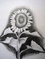 Sunflower in Pencil