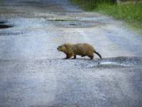 How the Groundhog Crossed the Road