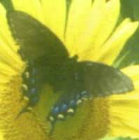 Butterfly on Sunflower Original by JudyMarisa