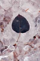 Aspen Leaf and Ice