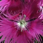 """""""*Flower in Pink"""" by patriciaschnepf"""