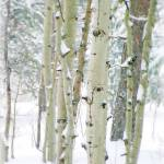 """Colorado Aspens & Snow"" by iThinkMedia"