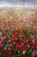 Poppies - Flower Field