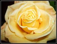 Exquisite Yellow Rose