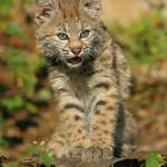 """Bobcat 2 , 10 week old"" by MarkWells"