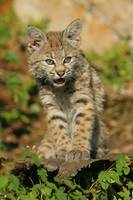 Bobcat 2 , 10 week old