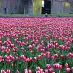 """""""Boy in Tulip Fields"""" by christopherboswell"""