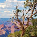 """Grand Canyon tree at Hermits Rest"" by lwoodburn"