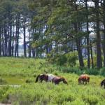 """wild ponies of Assateague Island"" by lwoodburn"