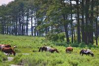 wild ponies of Assateague Island