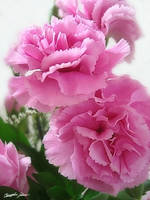 Pink Carnations 1