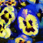 """Pansy Faces"" by hotart"