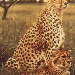 """Cheetah Pair"" by halstanford"