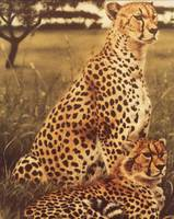 Cheetah Pair