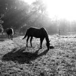 """Horses with Sun Black and White"" by Jenny_Gandert"