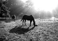 Horses with Sun Black and White