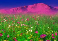 A Field of Flowers in front of the Rocky Mountains