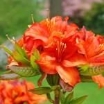 """Azaleas Orange Azalea Flowers Art Rhododendrums"" by BasleeTroutman"