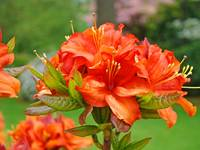 Azaleas Orange Azalea Flowers Art Rhododendrums