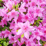 """Azaleas Pink Azalea Flowers Art Prints Nature Art"" by BasleeTroutman"