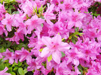 Azaleas Pink Azalea Flowers Art Prints Nature Art