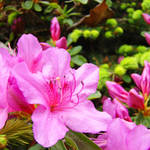 """Azalea Flowers Art Prints Pink Azaleas Artwork"" by BasleeTroutman"