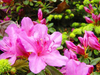 Azalea Flowers Art Prints Pink Azaleas Artwork