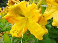Azaleas Art Print Yellow Azalea Flowers Rhodies