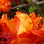 """Rhodies Orange Azalea Flowers Art Rhododendrums"" by BasleeTroutman"
