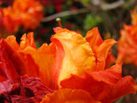 Rhodies Orange Azalea Flowers Art Rhododendrums