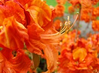FLOWERS Art Orange Azalea Flowers Red Rhododendrum