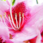 """PINK RHODODENDRUMS Flowers Art Prints Flower"" by BasleeTroutman"