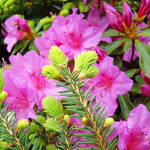 """PINE Conifer Art Pink Azaleas Art Prints Flowers"" by BasleeTroutman"
