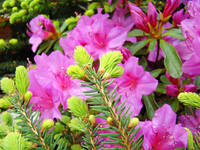 PINE Conifer Art Pink Azaleas Art Prints Flowers