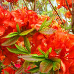 """Azaleas Orange Rhododendrums Flowers Art Prints"" by BasleeTroutman"
