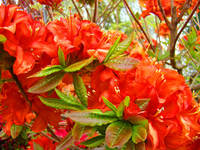 Azaleas Orange Rhododendrums Flowers Art Prints