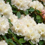 """Rhododendrum White Rhodies Azaleas Flowers Art"" by BasleeTroutman"