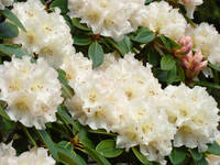 Rhododendrum White Rhodies Azaleas Flowers Art