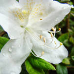 """White Azalea Flowers Art Prints Azaleas Nature Art"" by BasleeTroutman"